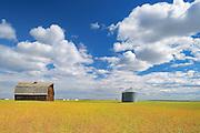 Old barn and canola crop<br />Rycroft<br />Alberta<br />Canada
