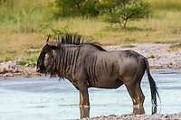 Blue wildebeest (gnu) at watering hole, Nxai Pan National Park, Botswana.