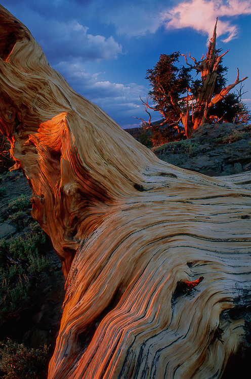 Bristlecone pine, evening light, Bristlecone Pine Protected Area, Inyo National Forest, Caifornia, USA