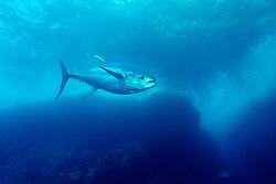 Thunnus albacares, Gelbflossen Thunfisch, Yellowfin tuna, Insel Cocos, Costa Rica, Pazifik, Pazifischer Ozean, Cocos Island, Costa Rica, Pacific Ocean