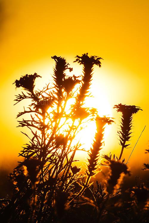 Dakota Vervain silhouette at sunset, Texas Hill Country (between Blanco and Fredericksburg), Texas, USA..