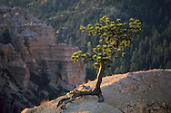 Tree growing out of rock, Queens Garden Trail, Bryce Canyon National Park, UTAH