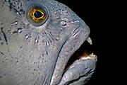 Wolf-fish - Anarhichas lupus.