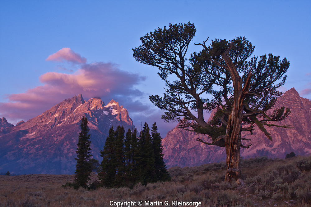 The Old Patriarch Tree and the Cathedral Group of the Teton Range.  Grand Teton National Park, Wyoming. USA.