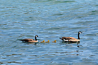 A pair of         swimming with their chicks in the Pacific Ocean, near Jenner, Sonoma County, California, USA. 201304292086<br /> <br /> Copyright Image from Victor Patterson, 54 Dorchester Park, Belfast, UK, BT9 6RJ<br /> <br /> Tel: +44 28 9066 1296<br /> Mob: +44 7802 353836<br /> Voicemail +44 20 8816 7153<br /> Skype: victorpattersonbelfast<br /> Email: victorpatterson@me.com<br /> Email: victorpatterson@ireland.com (back-up)<br /> <br /> IMPORTANT: If you wish to use this image or any other of my images please go to www.victorpatterson.com and click on the Terms & Conditions. Then contact me by email or phone with the reference number(s) of the image(s) concerned.
