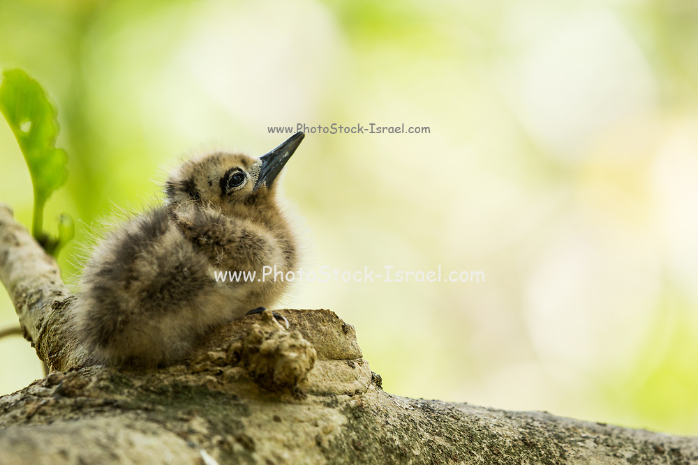 White tern or White Fairy Tern (Gygis alba) Fledgling in a nest, Photographed on Cousin Island, in the Seychelles, a group of islands north of Madagascar in the Indian Ocean.