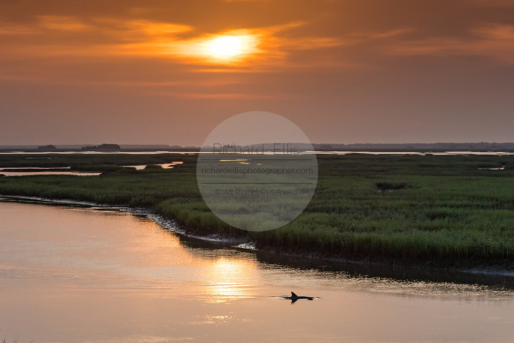 An juvenile Atlantic bottlenose dolphin surfaces in the saltwater tidal marsh of Grey Bay on the edge of the Cape Romain National Wildlife Refuge at sunrise June 1, 2017 near Charleston, South Carolina. A subspecies of estuary bottlenose dolphins live in the marsh along the coast and never venture into the open ocean.