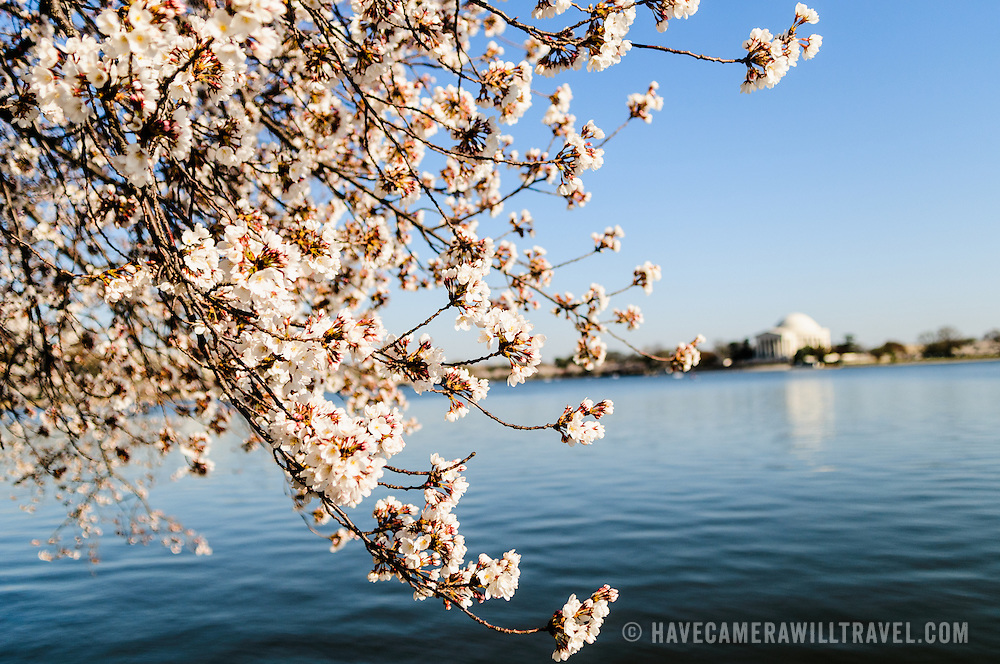 A photo of the 2011 Cherry Blossoms during peak bloom around the Tidal Basin in Washington DC. At left, some of the flowers are in sharp focus, which at right is the Jefferson Memorial out of focus.