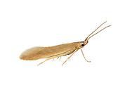 37.015 (0493)<br /> Coleophora serratella