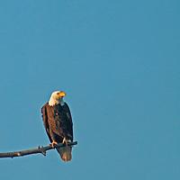 A Bald Eagle (Haliaeetus leucocephalus) perches in a dead tree in Montana's Gallatin Valley near Bozeman.
