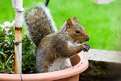 Ecclesfield Squirrel<br /> <br />  Copyright Paul David Drabble<br />  29 September 2019<br />  www.pauldaviddrabble.co.uk A Grey Squirrel (Scientific name Sciurus Carolinensison) hides peanuts from in a plant pot in British Suburban Garden