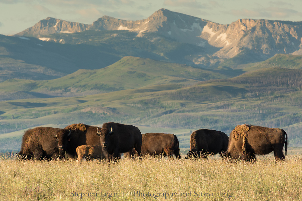 Buffalo, Blackfeet Reservation, Montana