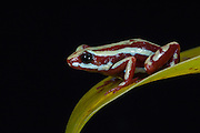 Anthony's Poison Arrow Frog (Epipedobates anthonyi)<br /> CAPTIVE<br /> South West ECUADOR. South America<br /> RANGE: Peru, Ecuador, <br /> Subtropical dry forest and moist lowlands, near streams<br /> 153-1,769m<br /> Epibatidine skin secretions used in medical research