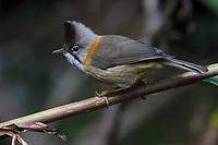 Whiskered Yuhina, Yuhina flavicollis, Baihualing, Gaoligongshan, Yunnan, China
