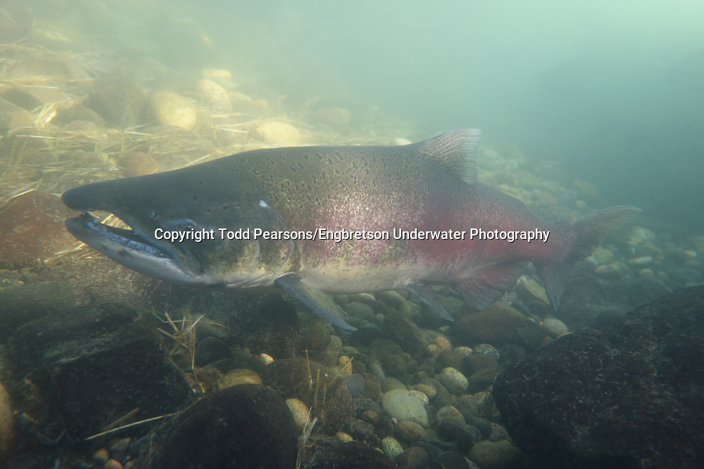Chinook Salmon<br /> <br /> Todd Pearsons/Engbretson Underwater Photography