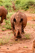 Young white rhinoceros seems to approach observer, [Secret Location] © David A. Ponton