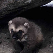 Wolverine, (Gulo gulo) Young kit at entrance to den. Early spring. Rocky mountains. Montana.  Captive Animal.