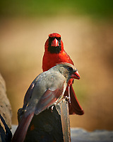 Male Northern Cardinal Feeding a Female. (Courtship Behavior???). Image taken with a Nikon D4 camera and 600 mm f/4 VR lens (ISO 100, 600 mm, f/4, 1/200 sec)
