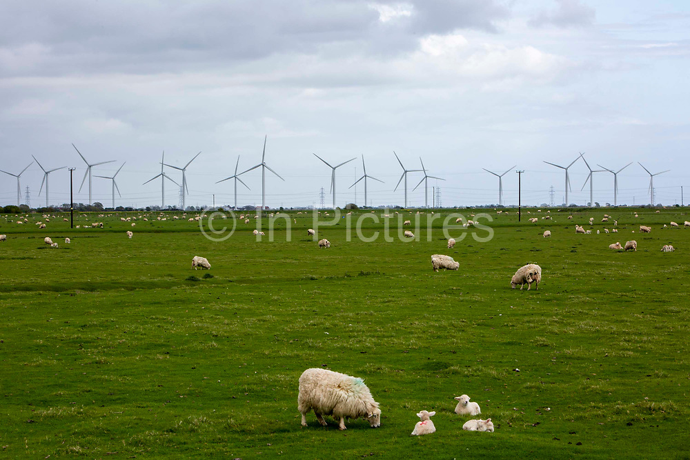 Sheep and young lambs grazing on the marshland next to wind turbines from the Little Cheyne Court Wind Farm on Romney Marsh, Kent, United Kingdom. Romney sheep have many characteristics that enable them to live on the wetlands, including black hooves resistant to footrot and resistance to internal parasites.