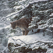 Mountain lion or cougar (Puma concolor) moving to the edge of rocks for a view of the river, Montana. Captive Animal