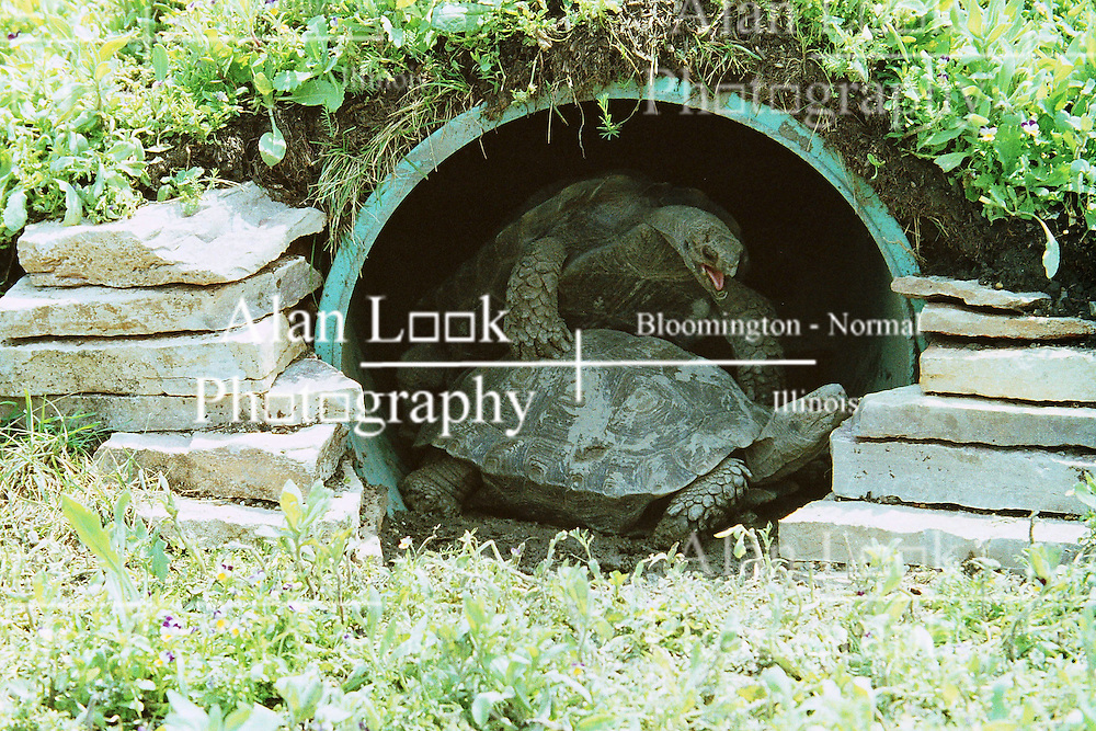 10 June 2001: Miller Park Zoo<br /> Galapagos Turtle <br /> Archive slide, negative and print scans.