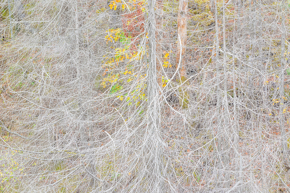 Abstract design of dead tree branches, October, Glines Canyon, Elwha River drainage, Olympic National Park, Washington, USA
