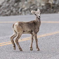 Mountain sheep lamb standing in the middle of the Alaska Highway, British Columbia, Canada