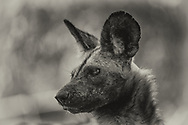 This photograph was taken in 2020 during lockdown - not just our COVID19 lockdown, but also the Mpindo Pack's lockdown who had been relocated from Hwange to Mana Pools and kept in a boma awaiting release. I spent a lot of time inside the boma and got many intimate pictures of the 19 strong pack who accepted me as part of the new environment and were always relaxed.
