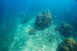 Large school of Bigeye Scad or Akule in Hawaiian, Selar crumenophthalmus, swimming over coral reef, Keauhou Bay, off Kona Coast, Big Island, Hawaii, Pacific Ocean