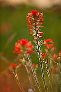Indian Paintbrush ( Castilleja indivisa) photographed in Washington County, Texas   (C) Mark Matson 4/3/10)