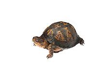 Eastern Box Turtle (Terrapene carolina)