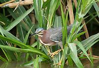Green Heron, Butorides virescens, on the Tarcoles River, Costa Rica