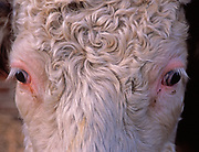 A87CM2 Close up Hereford cow face showing both eyes