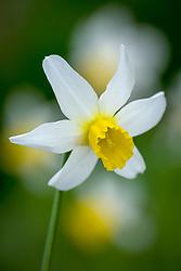 Narcissus 'Jack Snipe'