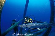 great barracuda, Sphyraena barracuda, wreck of the Duane, Key Largo, Florida ( Western Atlantic Ocean )