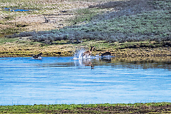 An elk fighting wolves for here life; she one.   Wildlife drama in Yellowstone National Park.