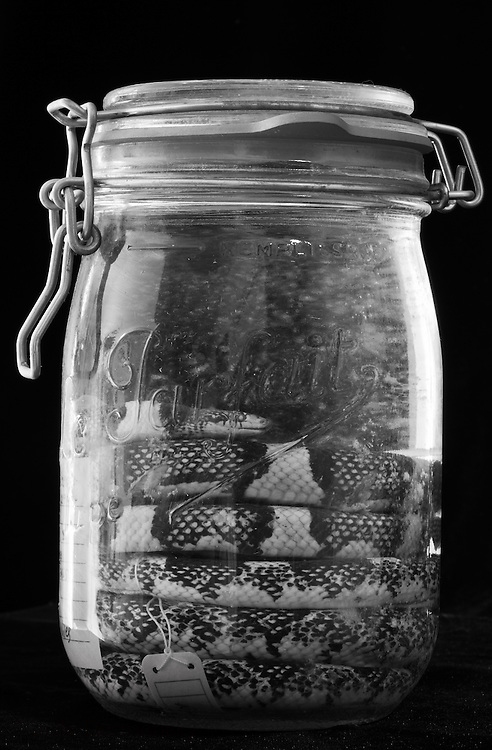 Snake in a jar, part of the reptile collection at the Tulane Natural History Museum.