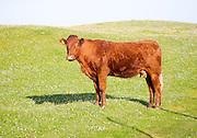 Brown cow on machair grassland grazing, Vatersay Island, Barra, Outer Hebrides, Scotland, UK