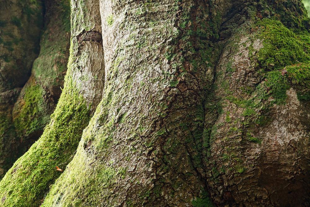400 years old oak trees (Quercus), L'allée des Géants, Bois Noirs, Saint Nicolas de Biefs, Montagne Bourbonnaise, Auvergne, France