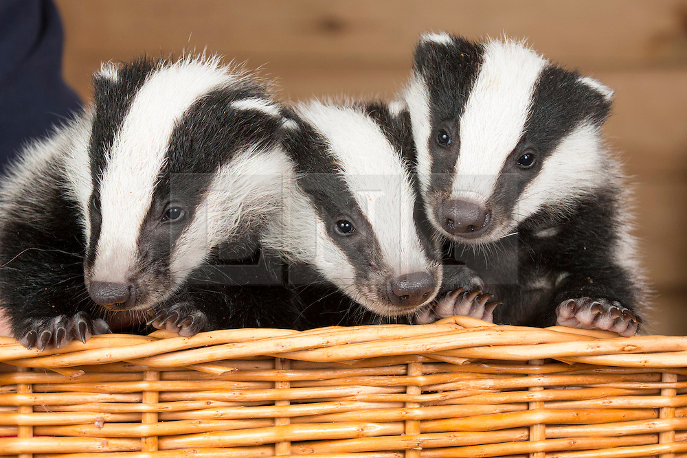 """LNP HIGHLIGHTS OF THE WEEK 25/04/14 © Licensed to London News Pictures. 24/4/2014. Nuneaton, Warwickshire, UK. Pictured, Badger cubs Scampy, Fidget and Dopey were found by a rambler when just four weeks old, they were hiding in a hedgerow, suffering from hypothermia and lack of food, their parents both nearby, shot dead. Taken to Warwickshire Wildlife Sanctuary in Nuneaton, they were brought back to life with love and care by Geoff Grewcock who runs the Sanctuary along with 25 volunteers. The baby cub badgers now 12 weeks old, have doubled in size, Geoff smiles, """"for some reason they have also taken a liking to my custard cream biscuits, they seem to love them and are currently getting through a packet a week""""  Now checked by a local vet, inoculated and tagged, Geoff has found a home for them at  Secret World in Somerset, where they will join other badgers in purpose built sets and hopefully lead a full life. Geoff can be contacted on 02476 345243. Photo credit : Dave Warren/LNP"""