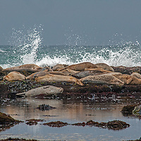 As waves in a rising Pacific Ocean tide roll towards them, Harbor Seals (Phoca vitulina) nap on rocks at Fitzgerald Marine Reserve near Moss Beach, California.