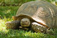 Spur-thigh Tortoise, Geochelone solcata