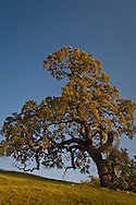 Oak trees and green hills at sunset in Spring, Sunol Regional Wilderness, Alameda County, California