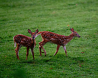 Fawns with Spots. Image taken with a Fuji X-T3 camera and 200 mm f/2 OIS lens