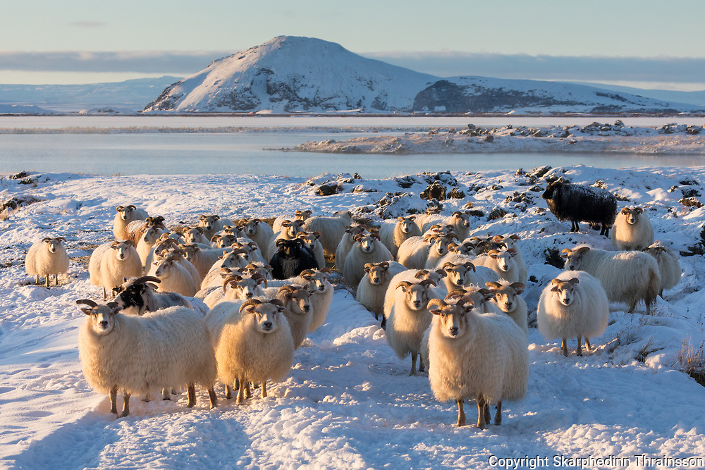 January 06 - The Icelandic sheep a Northern European short-tailed sheep. The fleece of the Icelandic sheep is dual-coated and occurs in white and a variety of other colors, including a range of browns, grays, and blacks.<br />