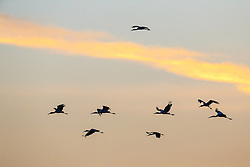 Wood Stork in flight at sunset, Great Trinity Forest, Dallas, Texas, USA