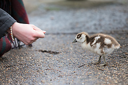 © Licensed to London News Pictures. 01/03/2017. London, UK. A passerby attempts to feed a young Egyptian gosling in St James's Park on the first day of meteorological Spring. Photo credit: Rob Pinney/LNP