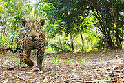 Close-up portrait of a wild jaguar (Panthera onca) taken by a camera trap in the forest of the Pantanal, Pantanal, Brasil, South America