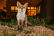 Red fox (Vulpes vulpes) in town house garden.  Greater Manchester, UK, UK. Camera trap image.