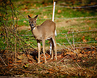 Young doe wondering why I am inside the electric fence pointing a big lens at her. Image taken with a Fuji X-H1 camera and 200 mm f/2 OIS lens + 1.4x teleconverter (ISO 200, 280 mm, f/2.8, 1/2500 sec).
